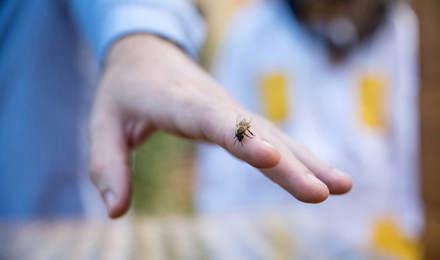 А отблизо оса на човешка ръка