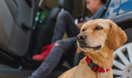Žlutý pes sedící před autem, připravený na cestu